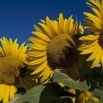 Tucany 602108 1024px 150x150 Sunflowers
