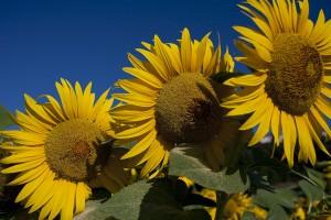 Tucany 602108 1024px 300x200 Sunflowers